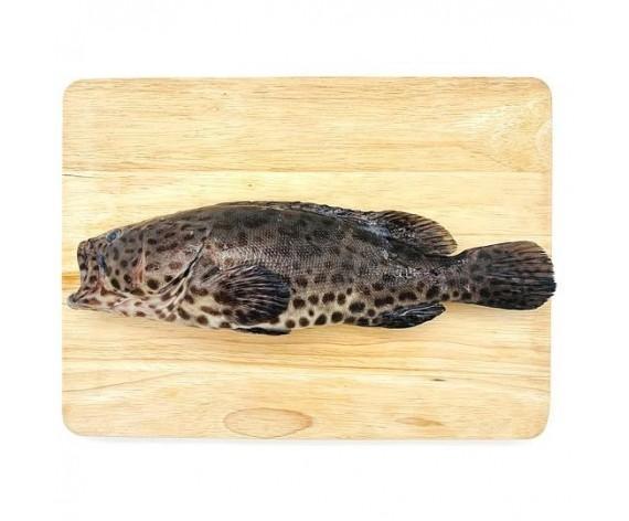 FROZEN BLACK GROUPER | CLEANED & GUTTED | 500-600GM/PC | 冷冻去鳞去肚黑石斑鱼 | SG